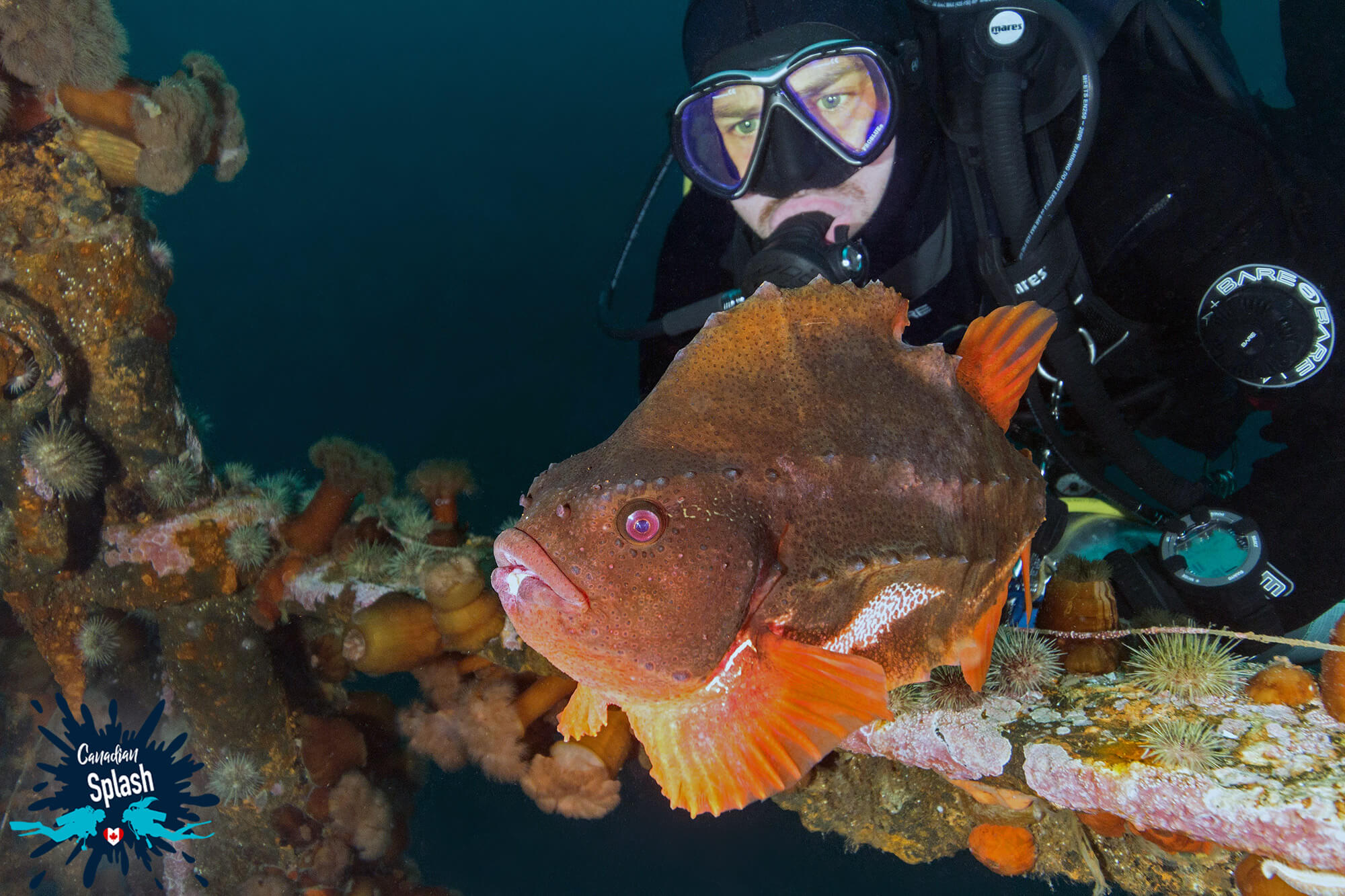 Joey And Lumpfish On The Lord Strathcona Shipwreck In Newfoundland And Labrador, Canadian Splash Scuba Diving