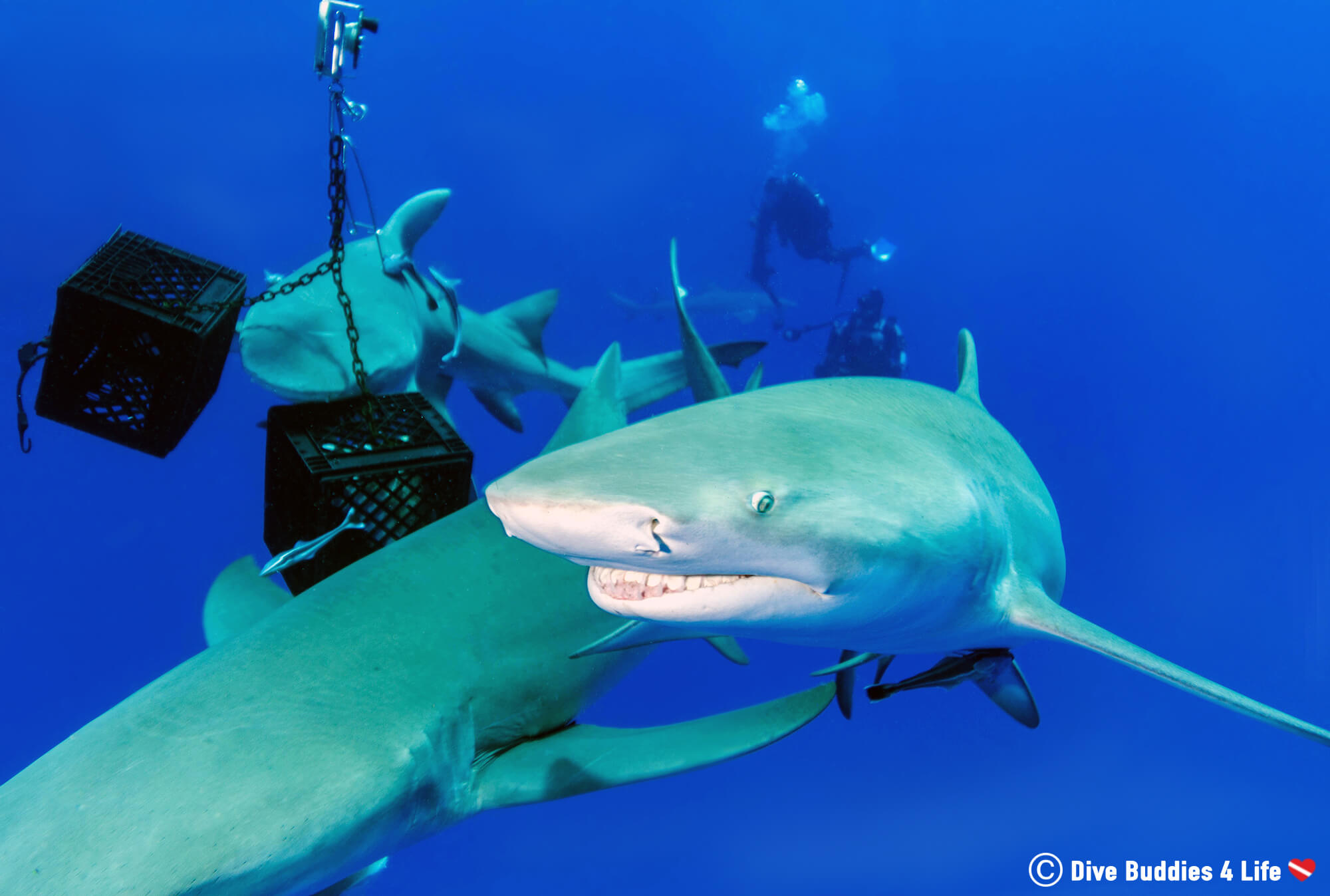Jupiter Shark Feeding Dive With Fish Crates In Florida, USA
