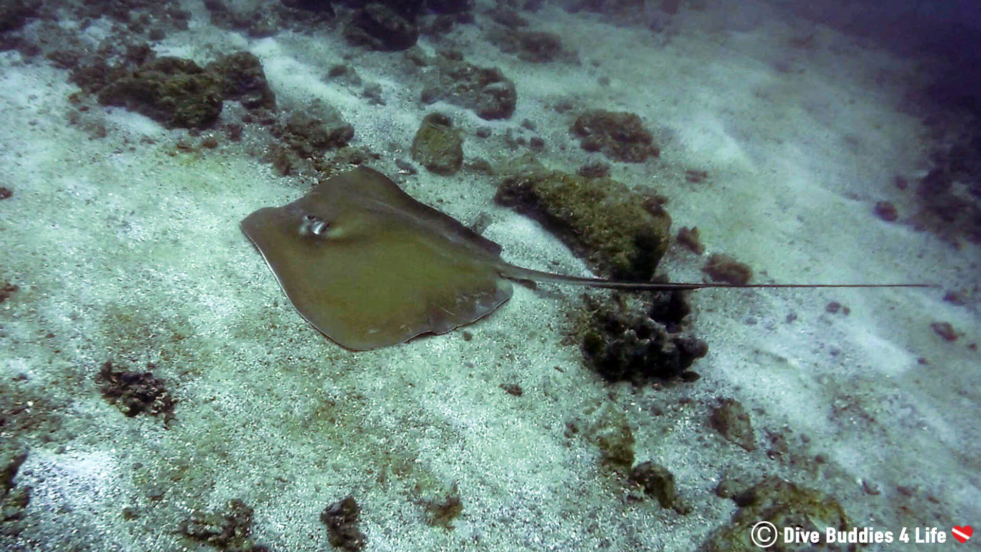 Large Southern Stingray On The Bottom Of The Ocean At The Catalina Islands, Costa Rica