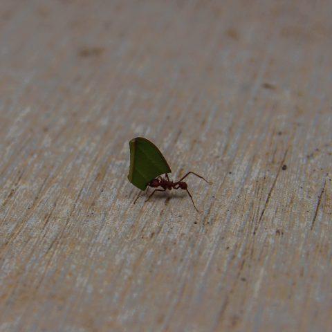 Lone Leaf Cutter Ant