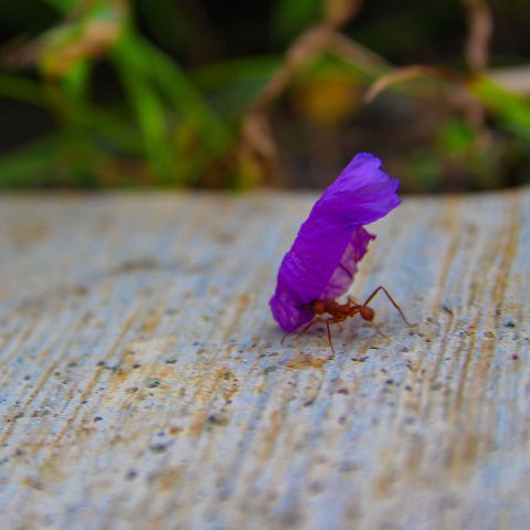 Leaf Cutter Ant with Flower