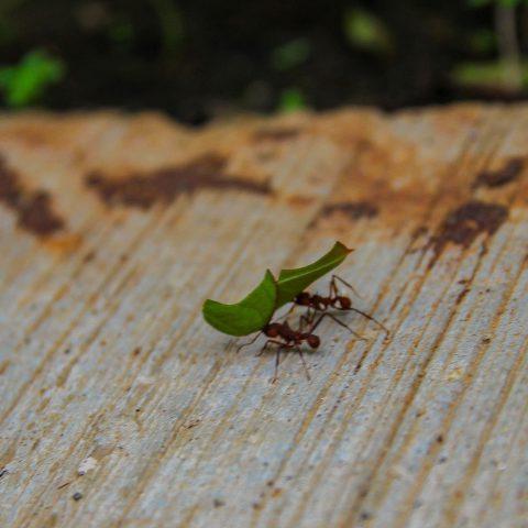 Leaf Cutter Ants at Work II
