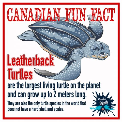 Leatherback Sea Turtle Canadian Splash Fun Marine Animal Fact