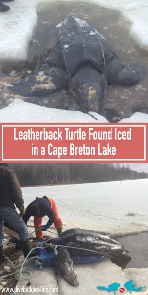 Leatherback Turtle Frozen In Cape Breton Lake Pinterest