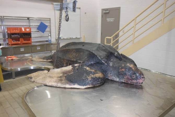 Leatherback Sea Turtle Ready for a Necropsy at DFO