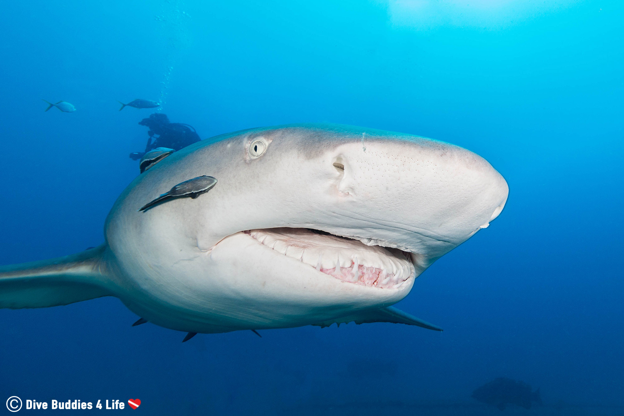Lemon Shark In Jupiter Florida, USA Scuba Diving