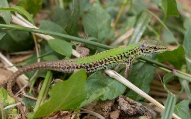 Lizard On Zakynthos Island