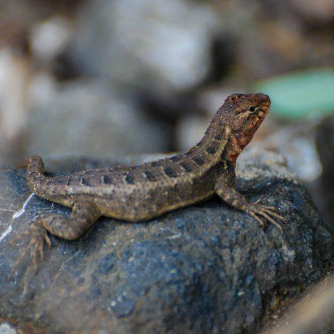 A Lizard on a Rock While Exploring Costa Rica