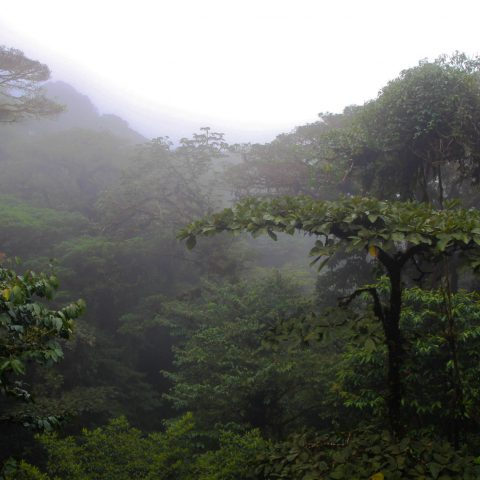 Looking Above the Monteverde Cloud Forest Canopy