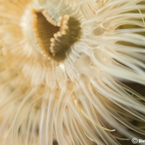 Macro Of The Centre Of An Dutch Anemone In The Zeeland Saltwater Lake