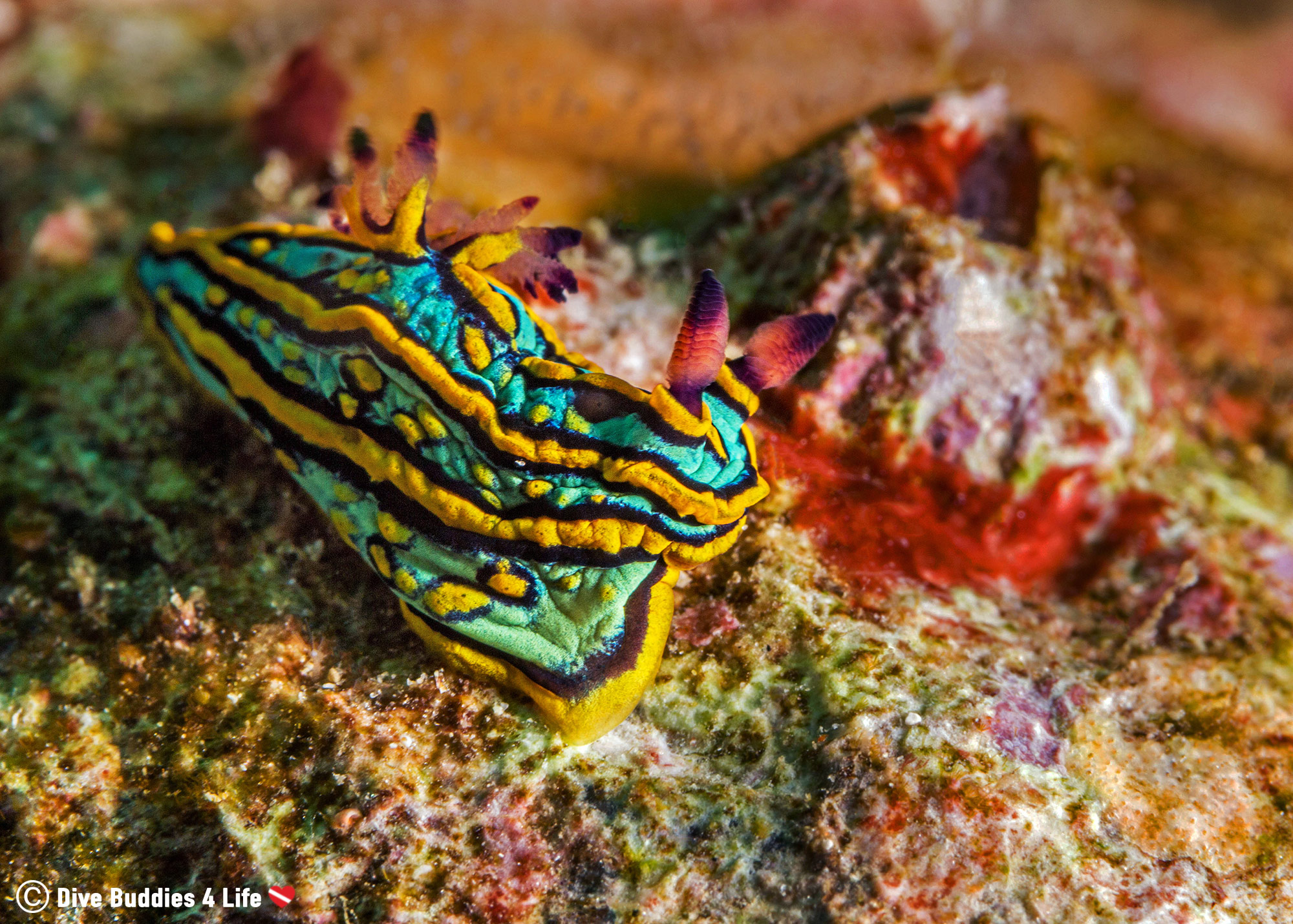A Teal and Orange Nudibranch in Zihua, Mexico Scuba Diving