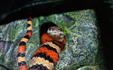 Costa Rican Milk Snake in a Hut