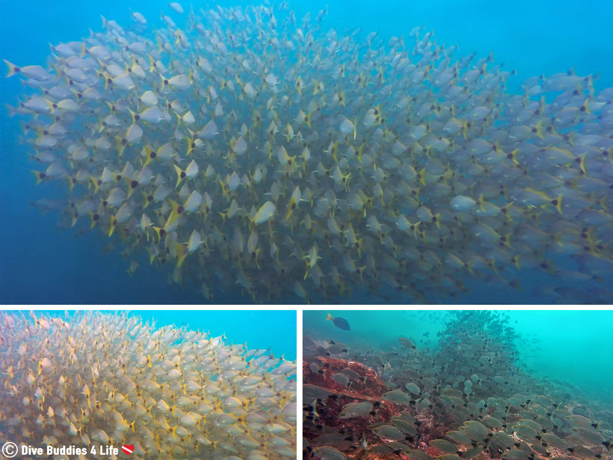 Mosaic Of The Large School Of Fish Seen Scuba Diving At The Catalina Islands, Costa Rica