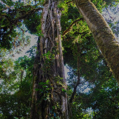 A Neat Looking Jungle Tree in the Rainforest