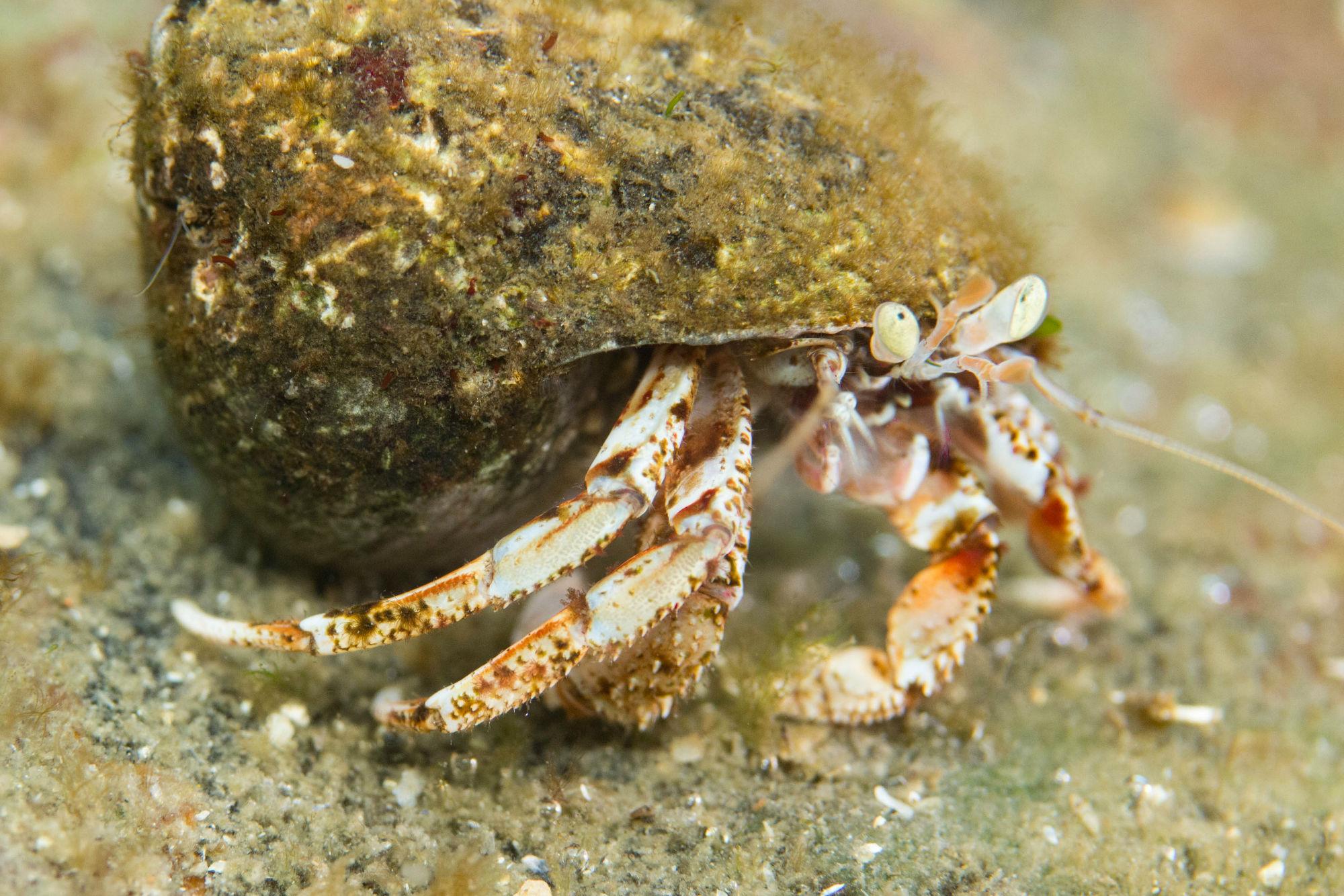 Netherland Hermit Crab In Zeeland