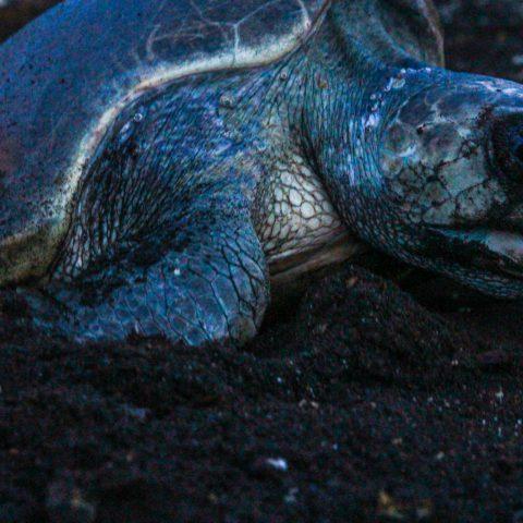 Nighttime Turtle Nesting