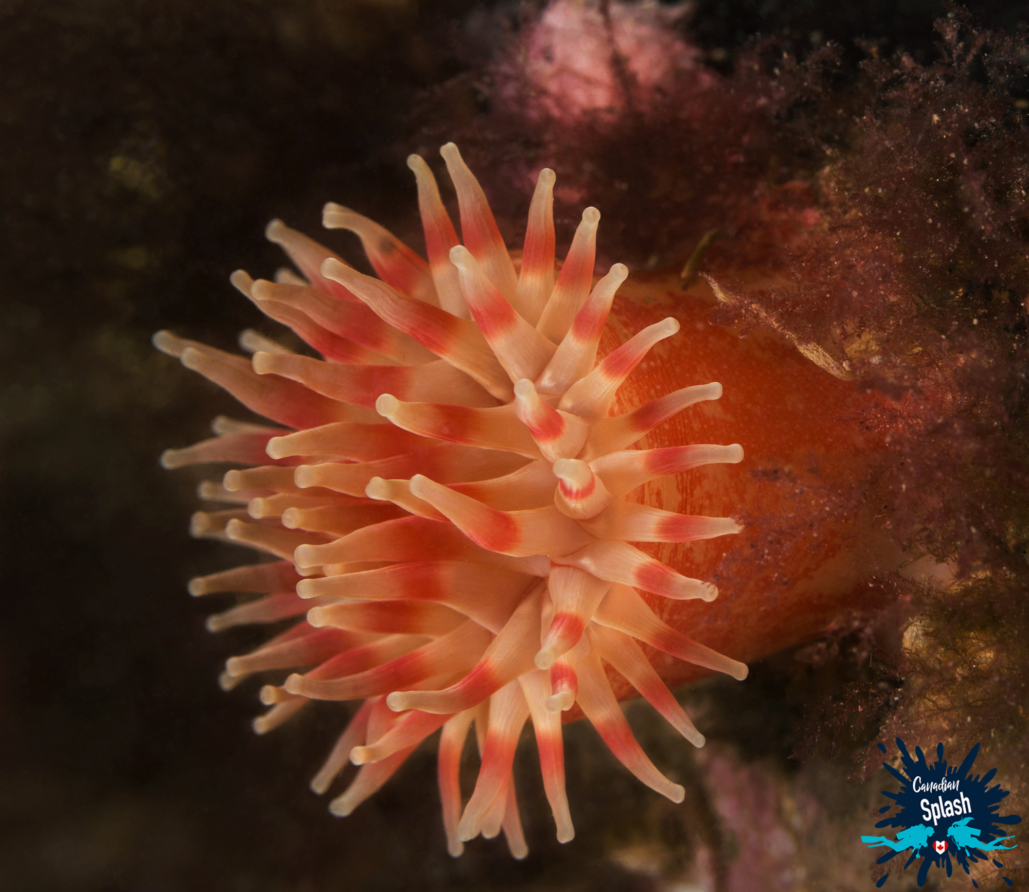 Northern Red Sea Anemone On The Wall Scuba Diving At Deer Island, New Brunswick, Canadian Splash