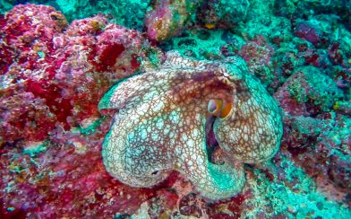 A Close up of an Octopus on a Rock at Bat Islands