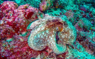 A Close up of an Octopus on a Rock at Bat Islands