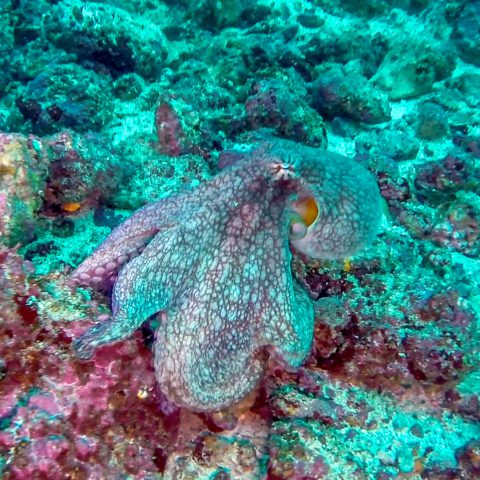 An Octopus on a Rock Spotted While Scuba Diving
