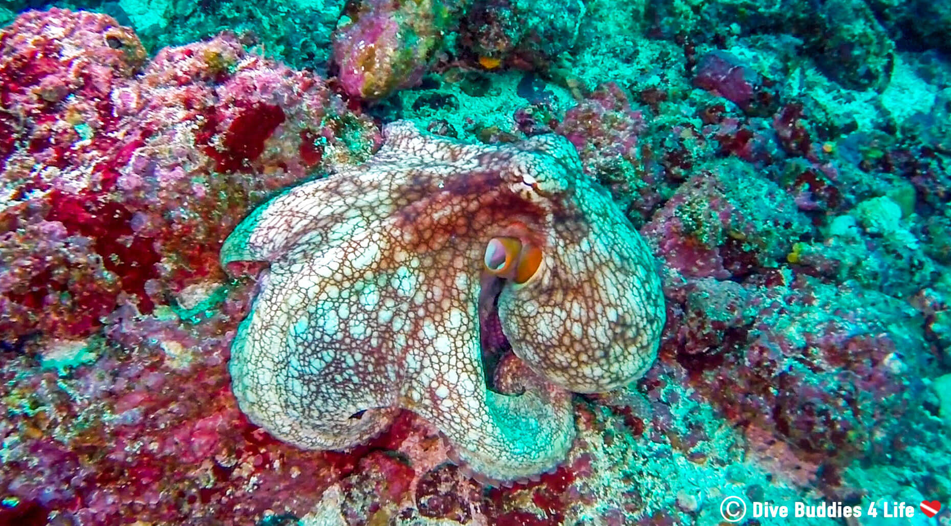 Pacific Octopus Seen While Scuba Diving At The Bat Islands In Costa Rica, Central America