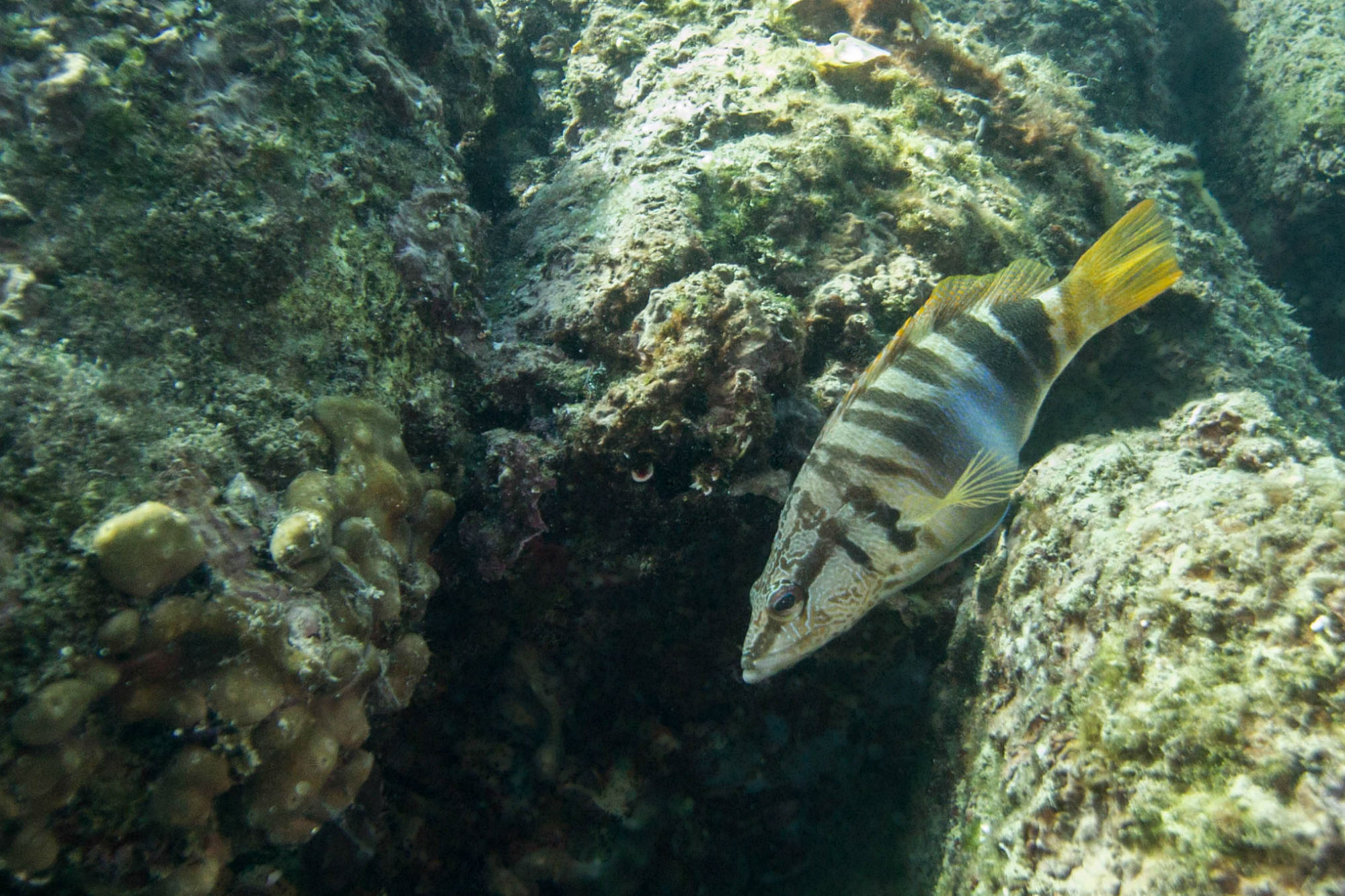 Painted Comber Swimming On Fiesa Reef