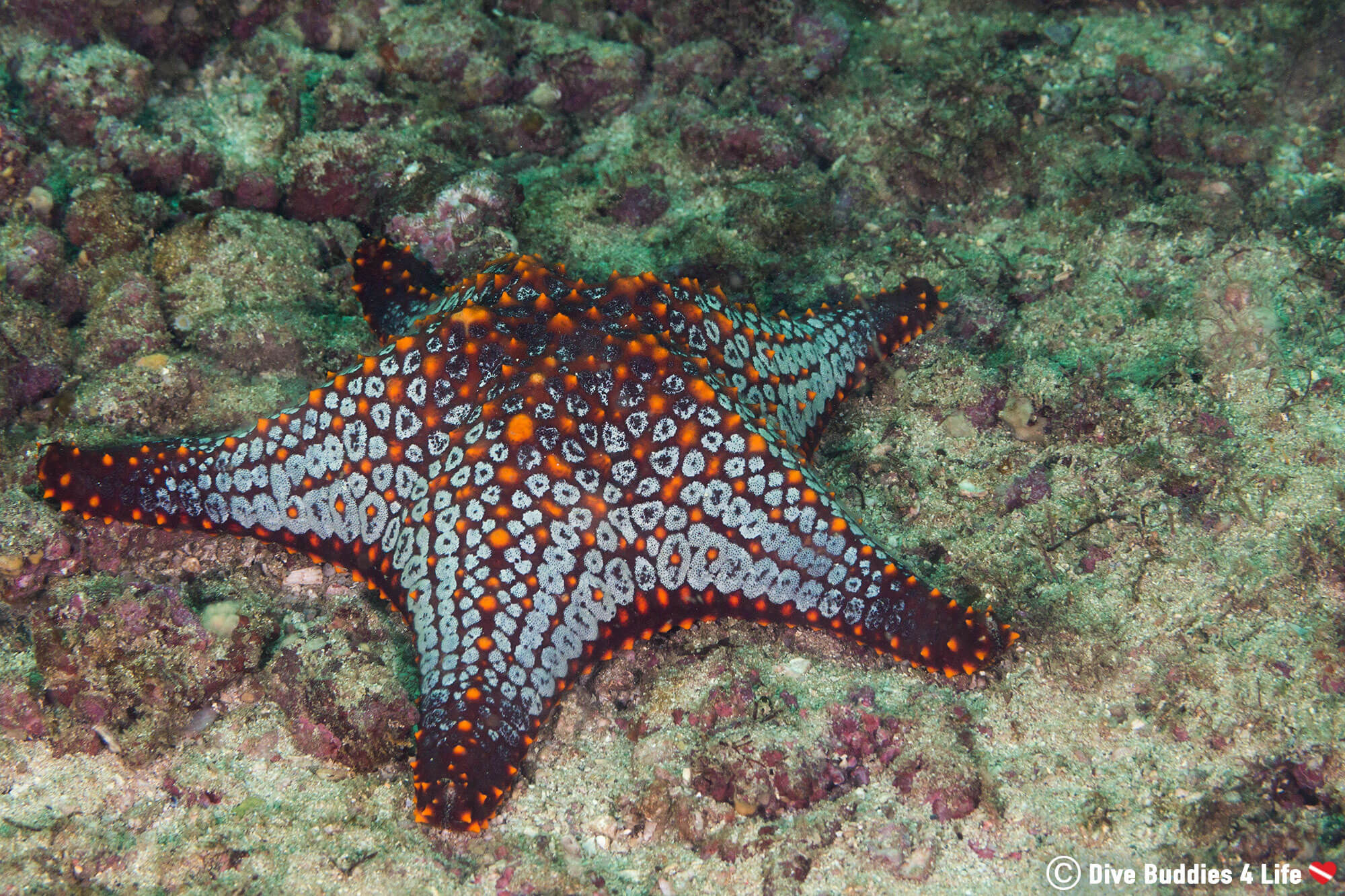 Panamic Cushion Star On The Bottom Of The Catalina Islands In Costa Rica, Central America