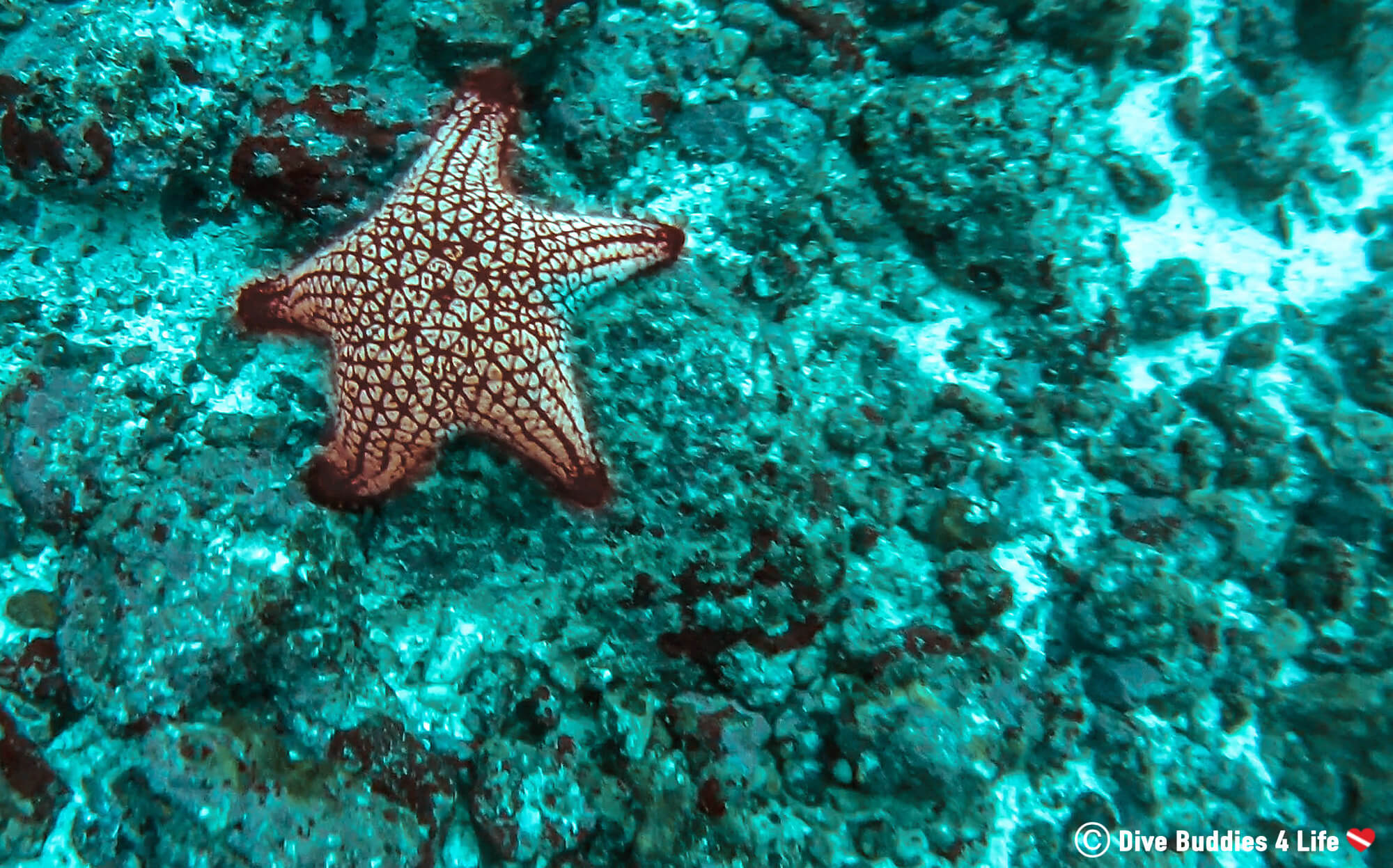 Panamic Cusion Sea Star In The Pacific Ocean Of Bat Islands, Costa Rica