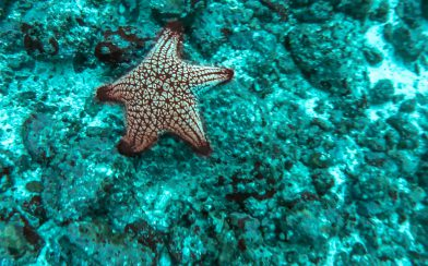 Diving by a Panamic Cushion Star at Bat Islands