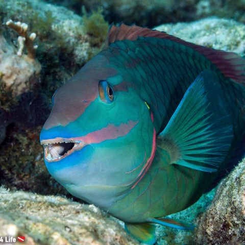 A Parrot Fish Smiling at a Scuba Diver While on the Reefs of Key Largo, Florida, USA