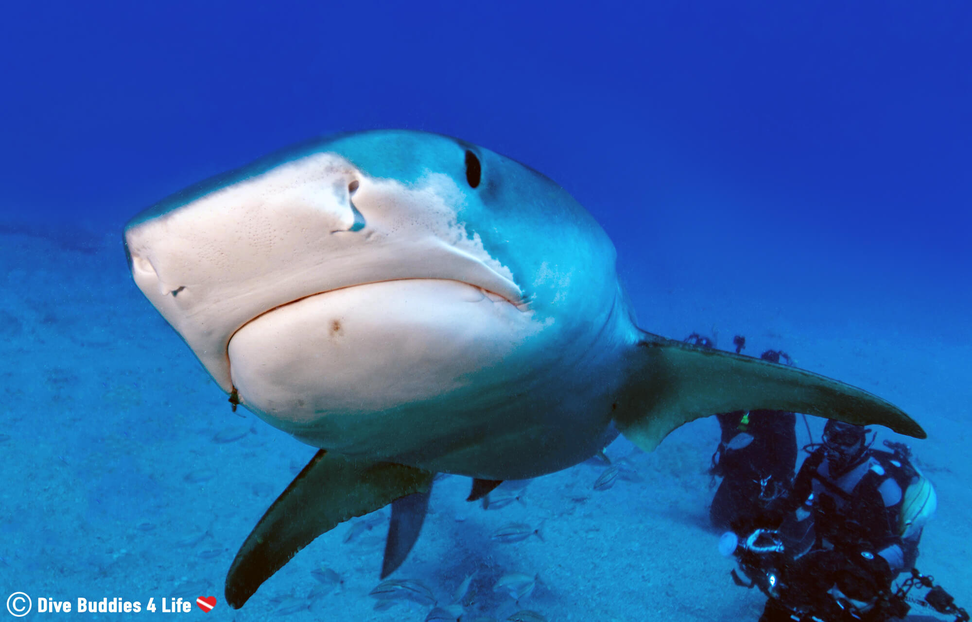 Patrick The Tiger Shark Swimming Towards The Underwater Camera On A Shark Feed Dive In Jupiter, Florida