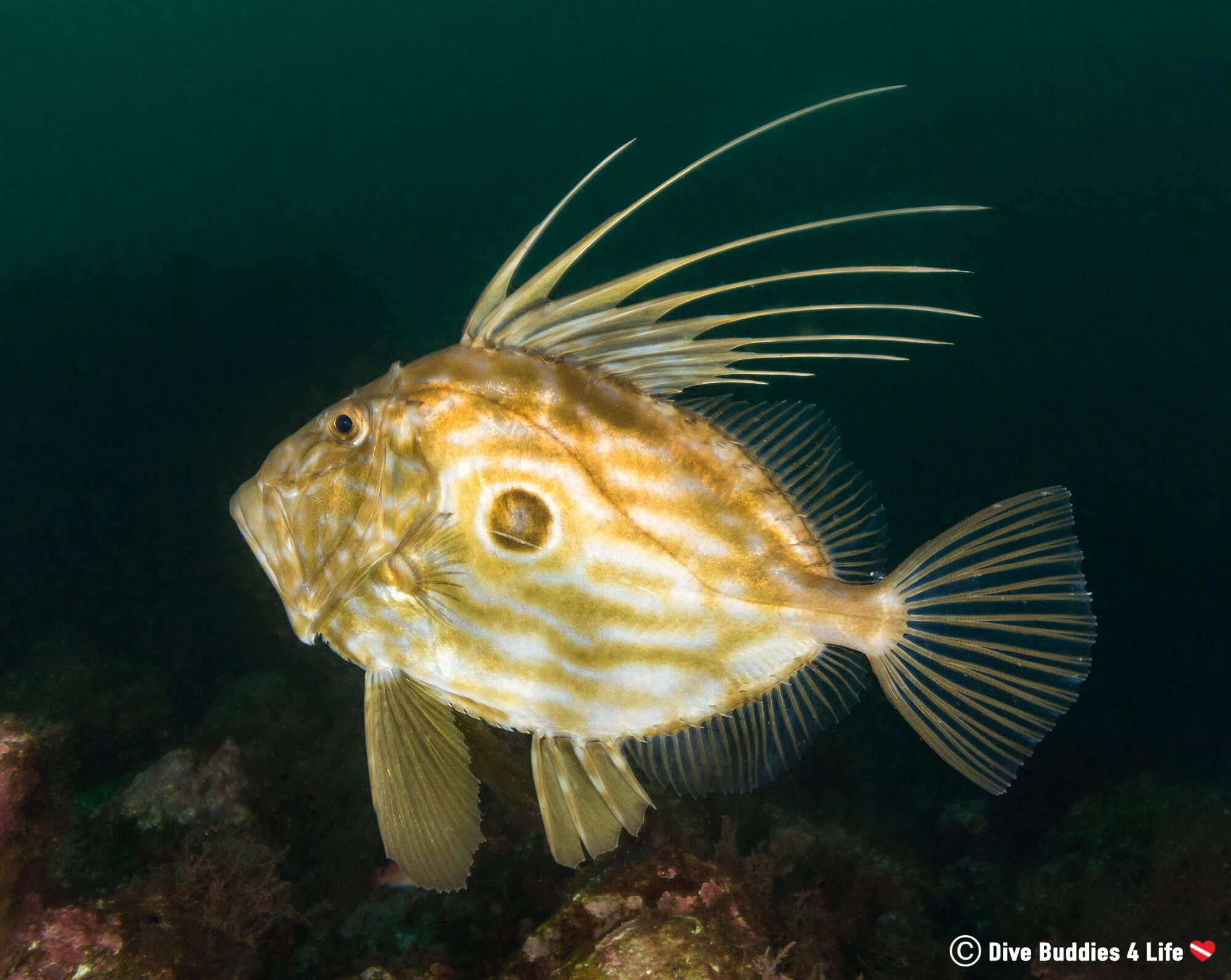 John Dory Swimming Away from a Scuba Diver in Peniche, Portugal