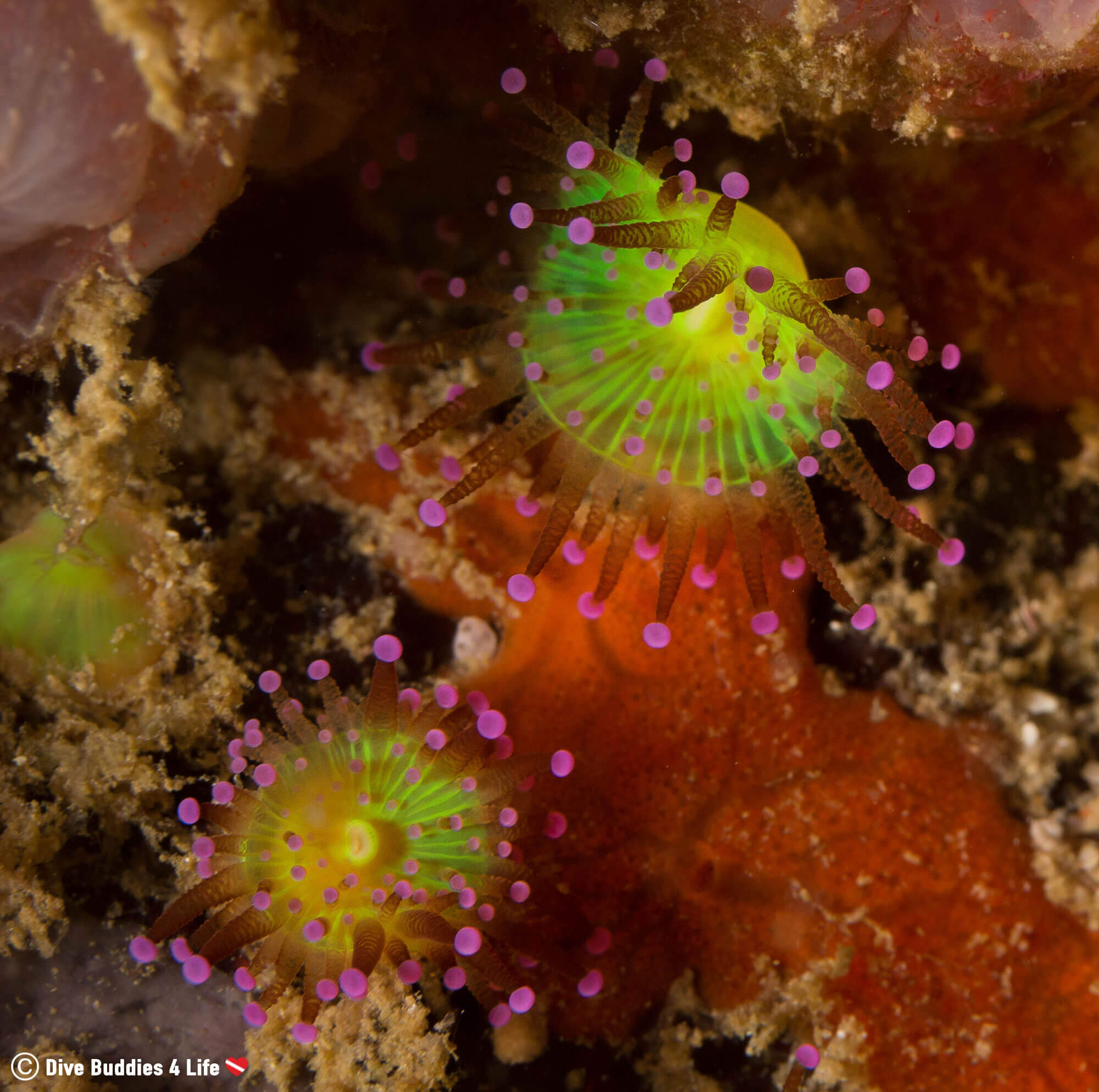 Macro Photograph of a Elegant Purple and Lime Green Jewelled Anemone from Underwater in Peniche, Portugal
