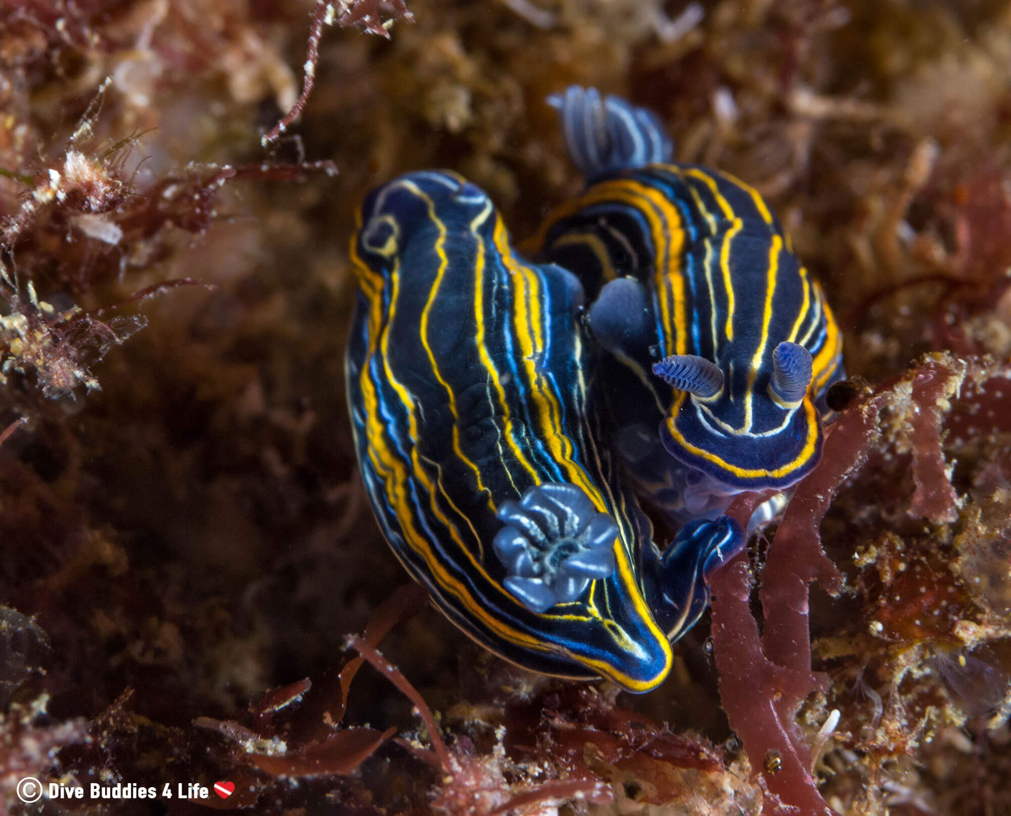 Scuba Diving and Spotting Two Ying and Yang Nudibranches on the Flora of Berlengas Islands, Portugal