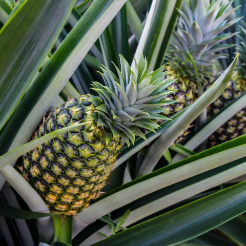 A Bush of Pineapples Close Up in Costa Rica