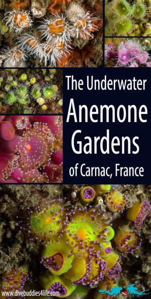 Pinterest Anemone Gardens In Carnac, France