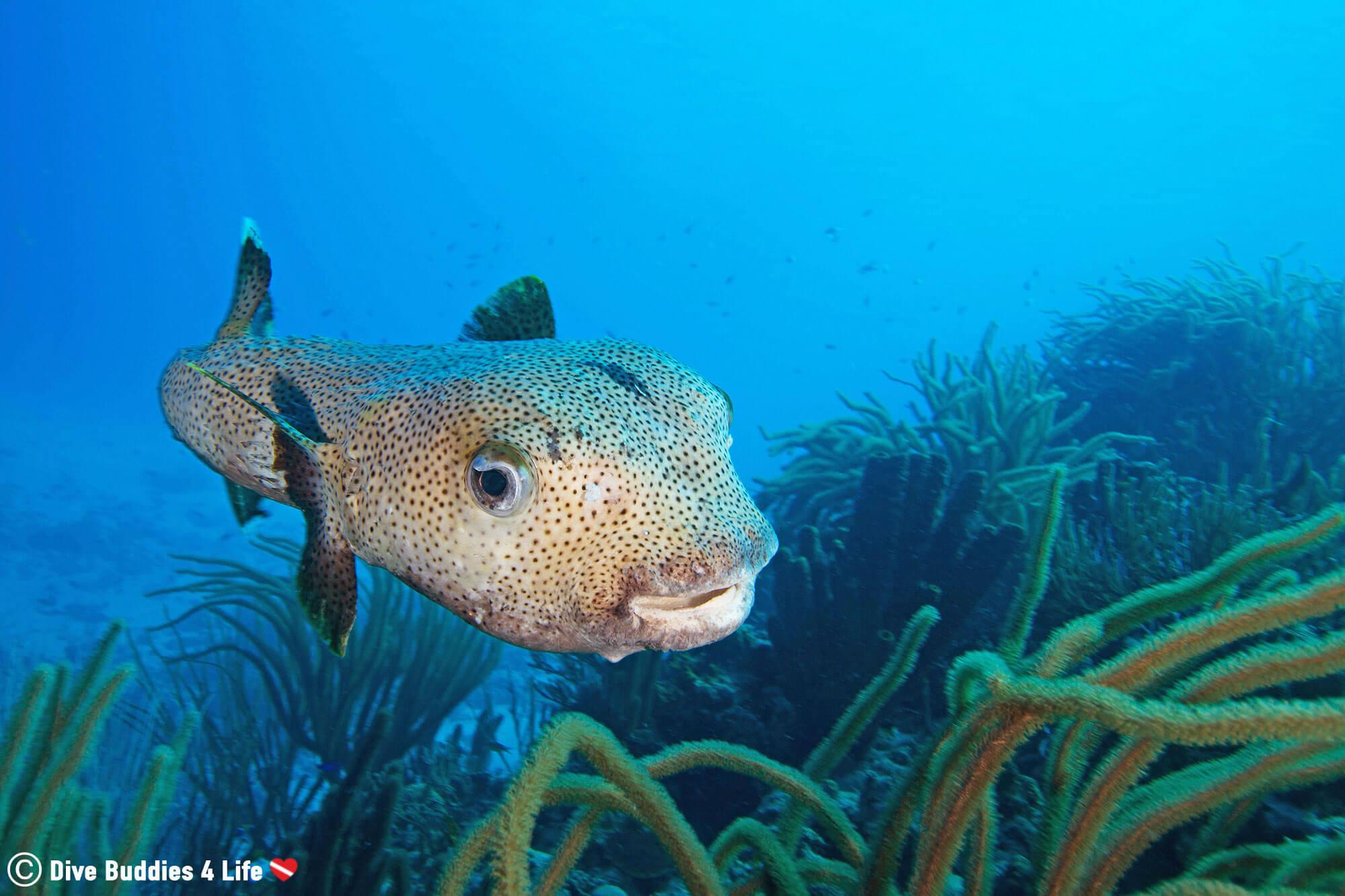 Porcupine Pufferfish At Red Slave Dive Site On Bonaire, Dutch Caribbean