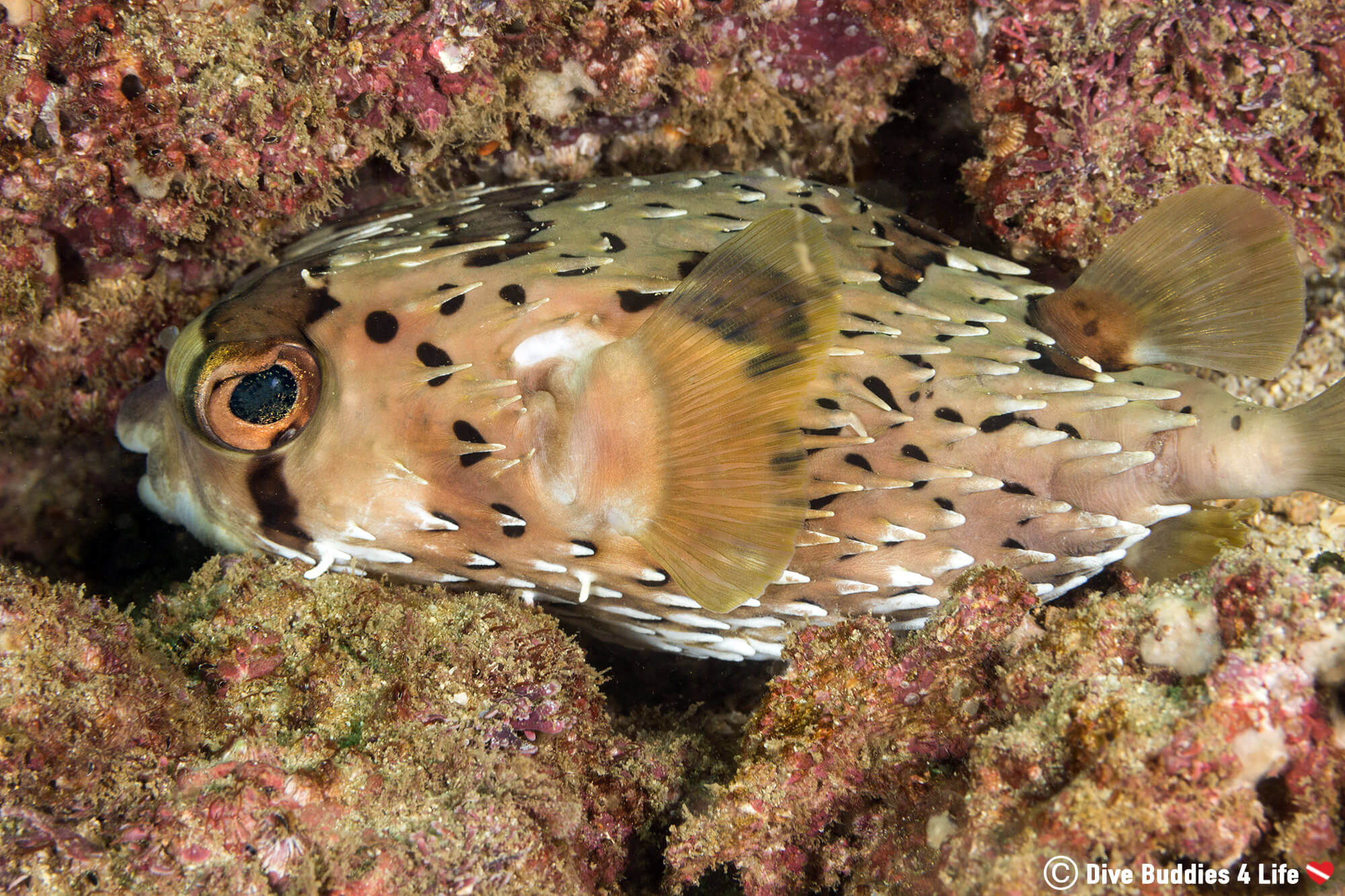 Porcupine Puffer Wedged Between Two Rocks At The Catalina Islands In Costa Rica, Central America