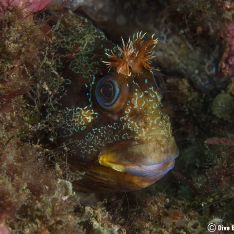 Portugese Blenny Species in Sesimbra