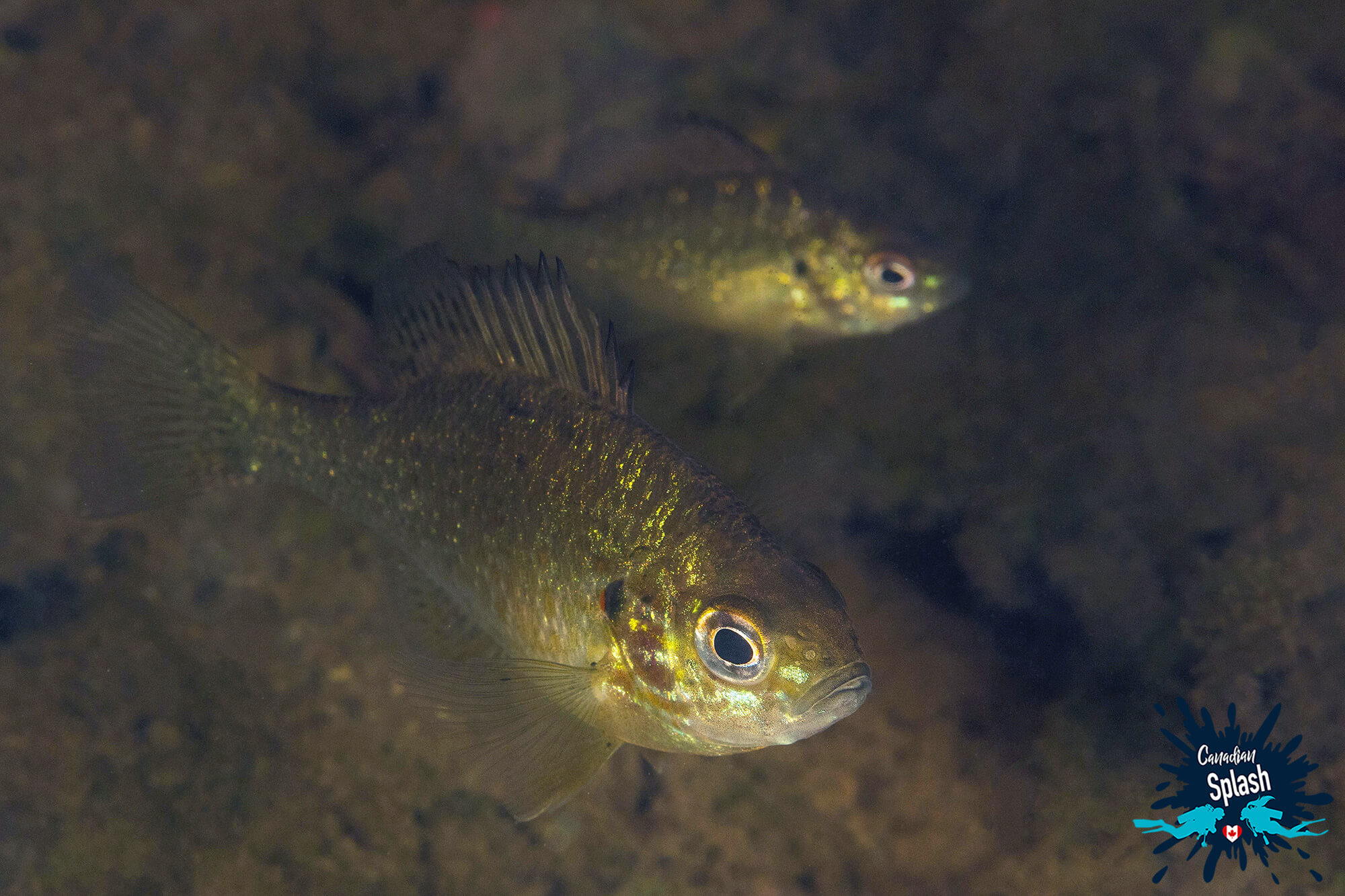 Pumpkinseed Fish In The Lake At Marten River Provincial Park, Ontario, Scuba Diving Canada