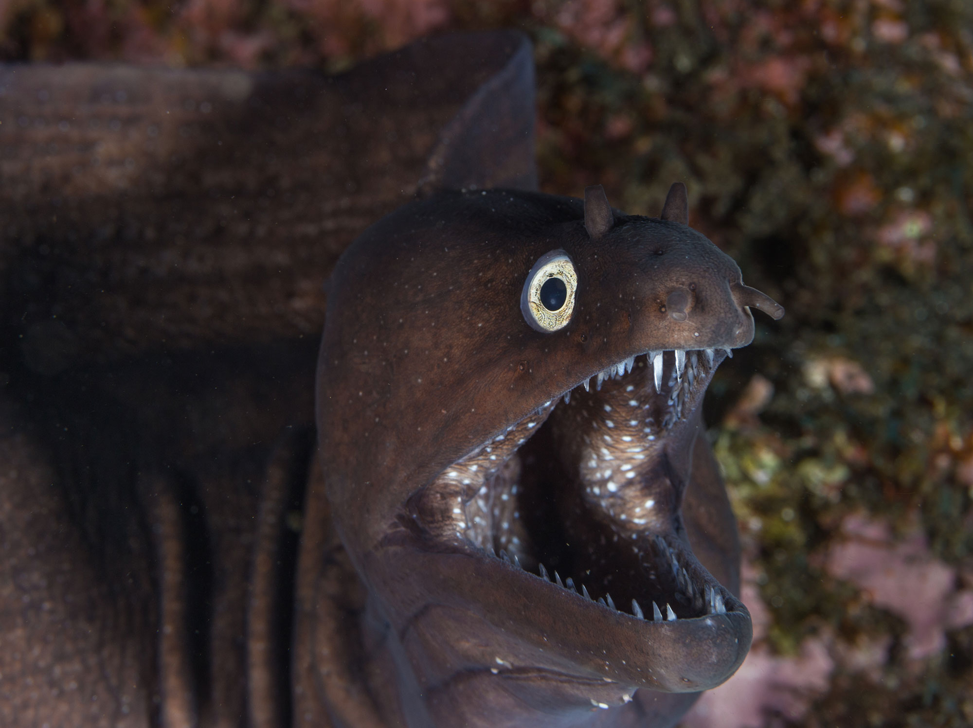 An Azores Purple Moray Eel Rearing his Fangs at Tufo