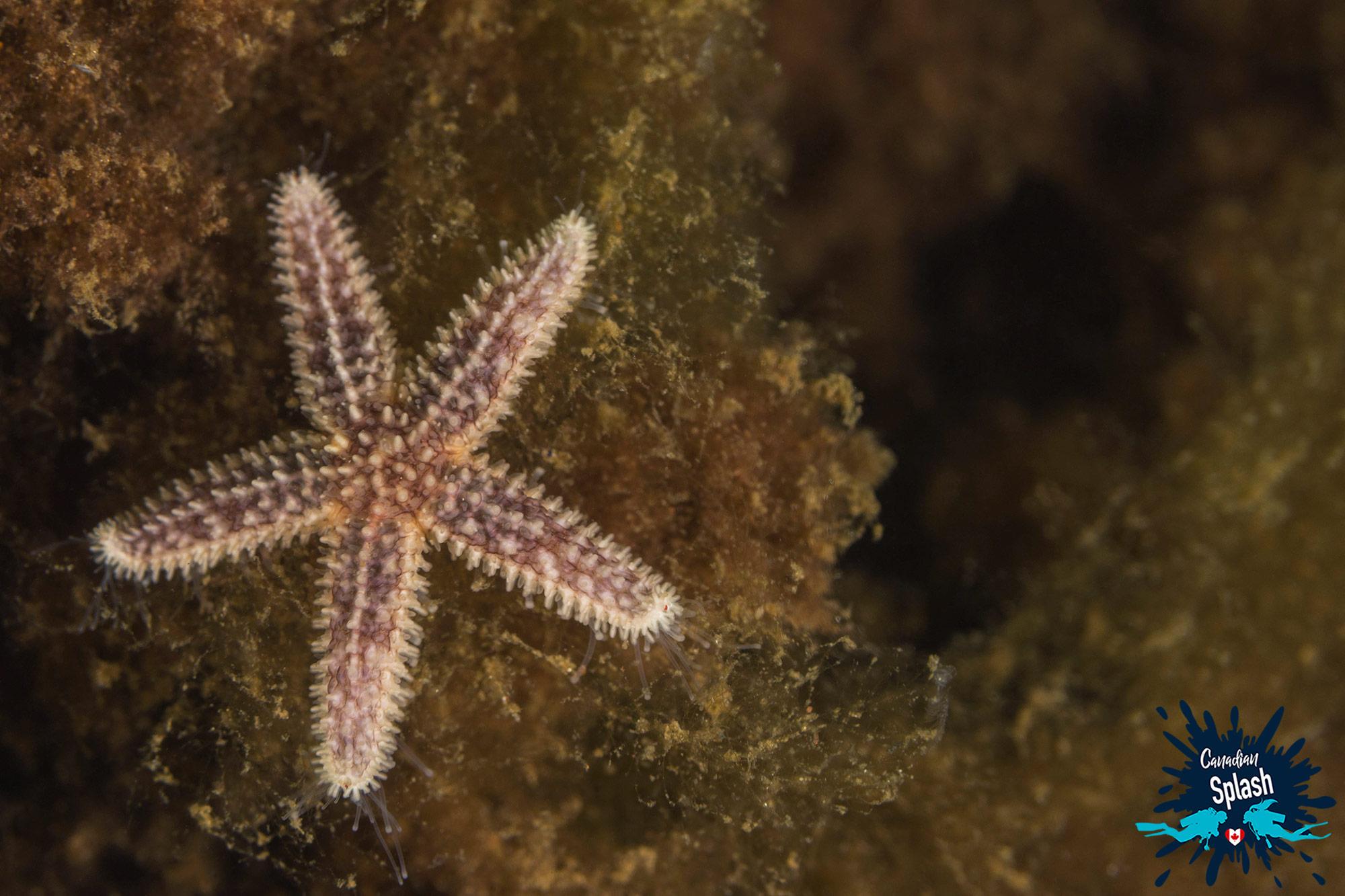 Purple Sea Star On Kelp In Nova Scotia, Canada Diving