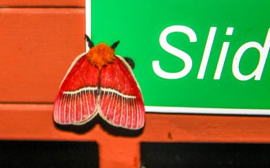 Red Winged Moth