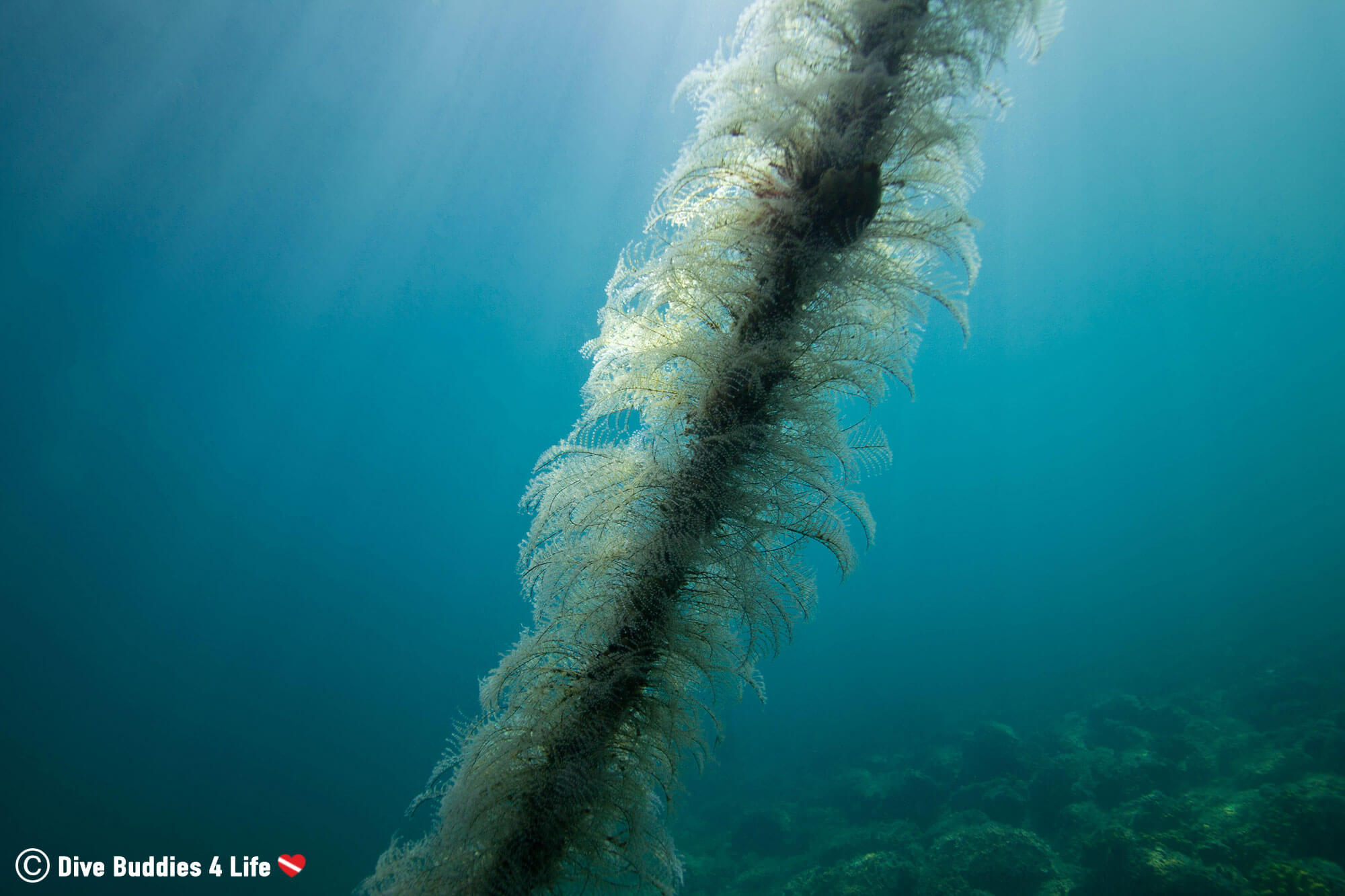 Rope With Marine Plant Growth In Slovenia