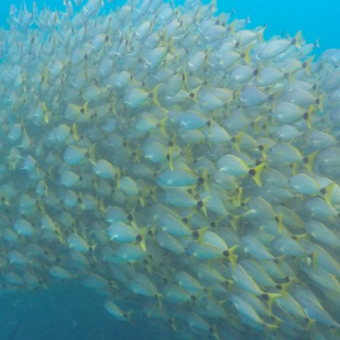 A Large School of Fish Swimming Together in the Pacific Ocean