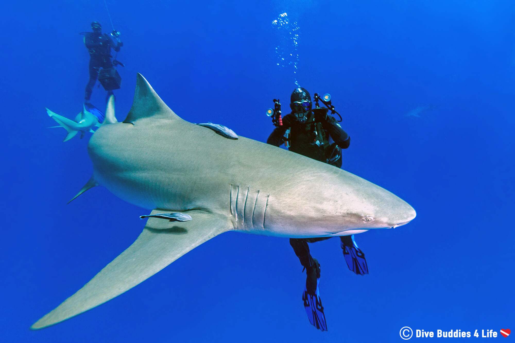 Scuba Diver Joey Filming A Lemon Shark Circling Us Underwater On A Shark Feed Dive In Jupiter, Florida, USA