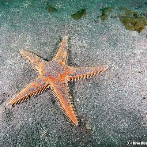 Scuba Diving Costa Del Sol And Finding A Big Sea Star On The Bottom Of The Ocean, Spain, Europe