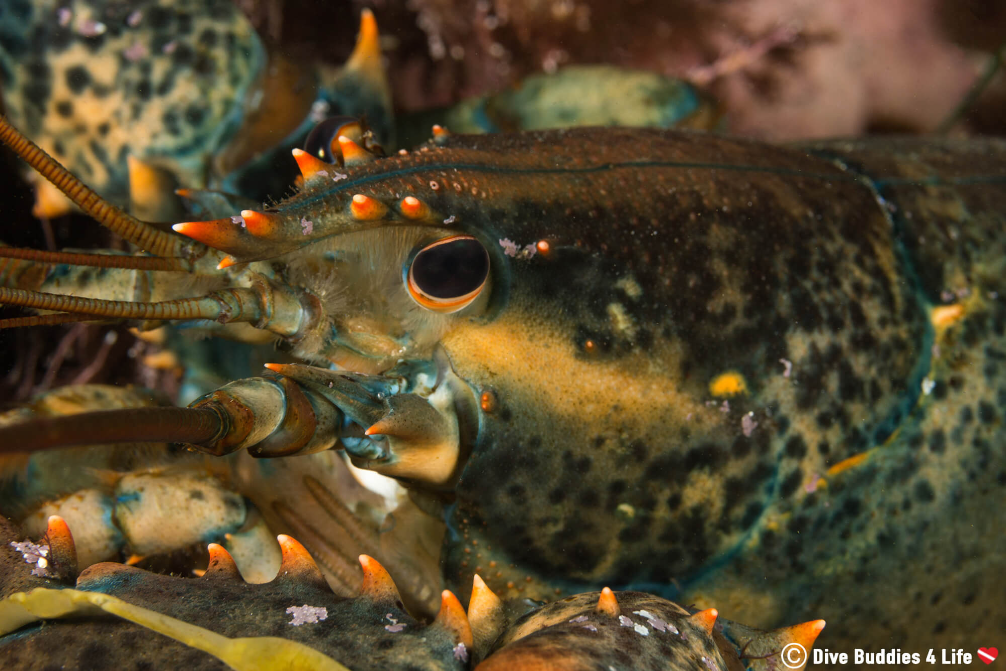 Scuba Diving With An American Lobster From The Shores Of Halifax, Nova Scotia In Canada