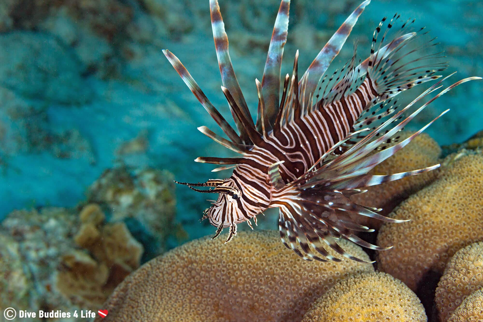 Scuba Diving With An Invasive Bonaire Lionfish, Dutch Caribbean, South