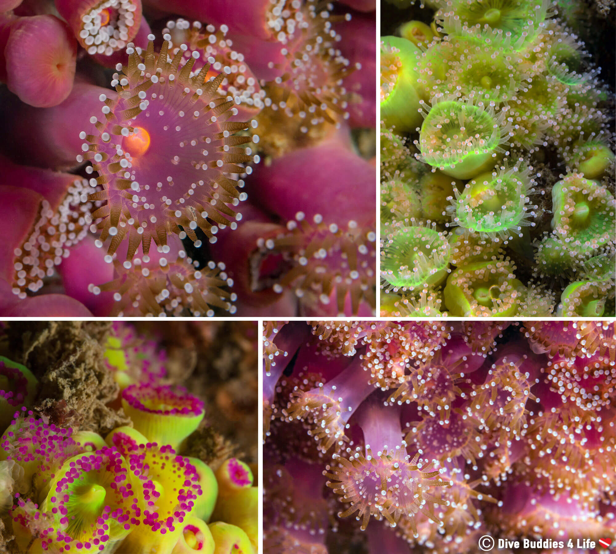 Scuba Mosaic Of Jewelled Anemones In Brittany, France, Europe